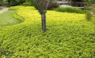fast growing ground cover slopes www rainbowlandscaping com sg pinterest ground covering