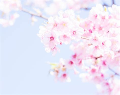 lovely like blossom cute gt 71 best images about beautiful sakura blossoms on