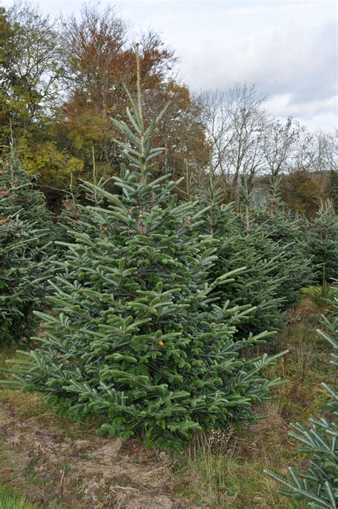 meadow fir 10 christmas tree images fraser fir trees for sale sendmeachristmastree