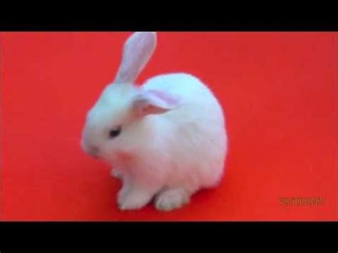 Bantal Peyang Baby Rabbit Blue mini lop white bunny baby with blue pet