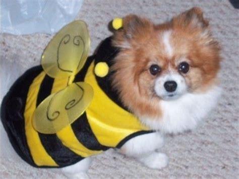 pomeranian in costume sofie bee costume pomeranian