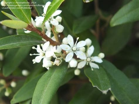 shrub identification by flower plant identification closed hedge shrub plant with white