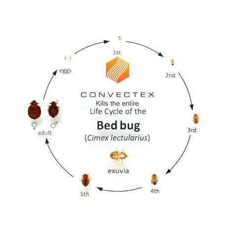 life cycle of a bed bug bed bug life cycle convectex bed bug heat equipment