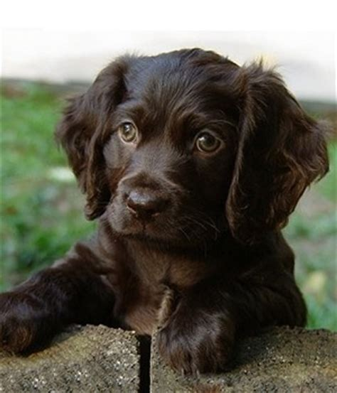 boykin spaniel puppies for sale in sc 17 best images about lbd brown boykin spaniels on spaniels