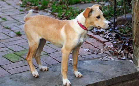 golden retriever whippet mix whippet labrador mix breeds picture