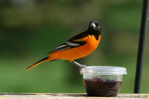 baltimore oriole at feeder photograph by john dart