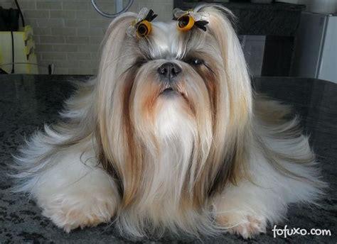 shitsu poodle with long hair shitsu poodle with long hair fun shih tzu haircuts