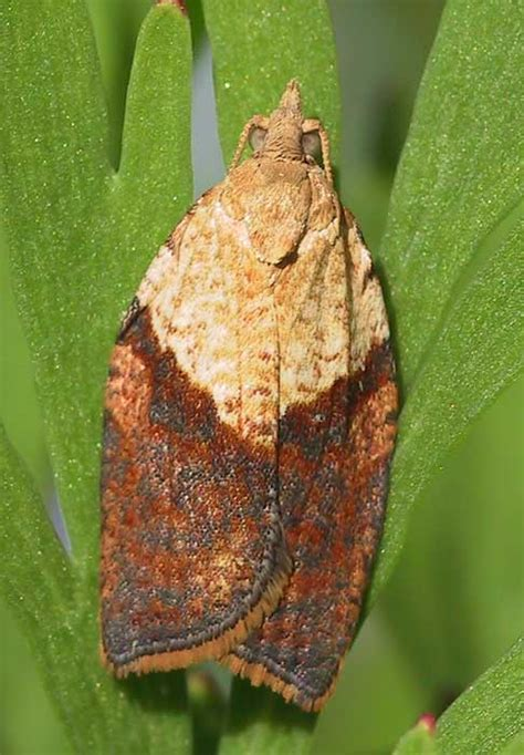 light brown apple moth light brown apple moth epiphyas postvittana ukmoths