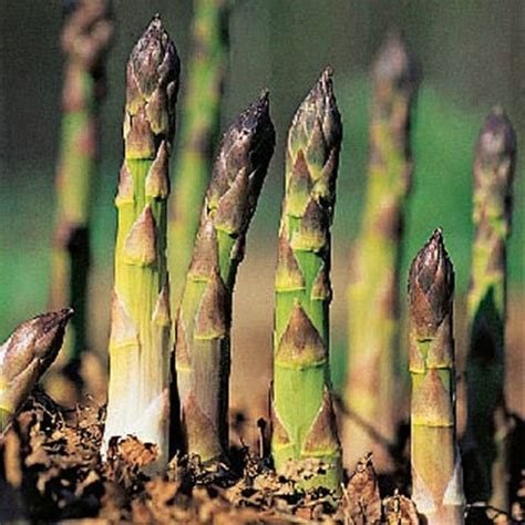 Asparagus Planter by Asparagus Grow From Crowns Or Seed