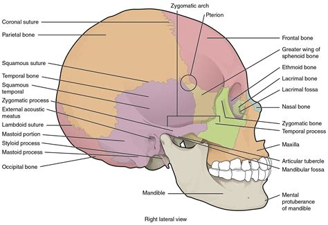 sections of the skull 7 2 the skull anatomy and physiology