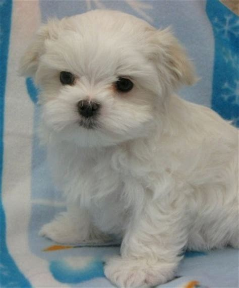 maltese puppies for sale mn maltese puppies mn side
