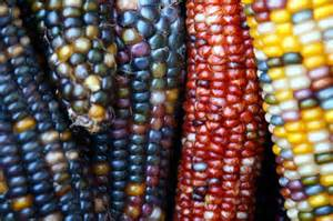 corn colors the color of indian corn artist at large