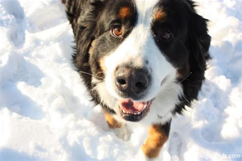 Do Bernese Mountain Shed by Bernese Mountain Breeds