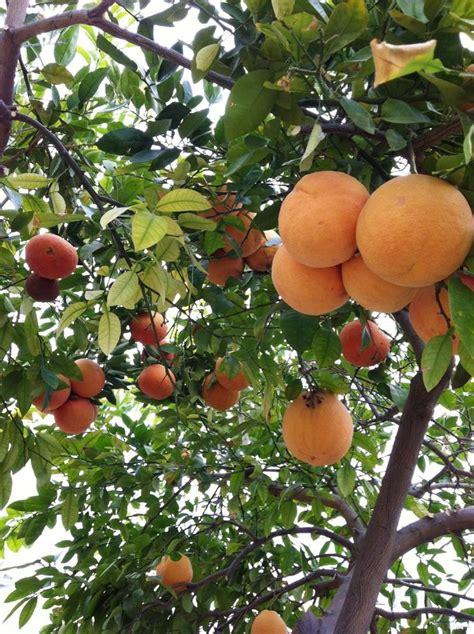 What Fruit Trees Grow In Texas - 25 best ideas about grapefruit tree on pinterest indoor fruit trees indoor lemon tree and