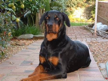 doberman mix rottweiler rottweiler doberman bloodhound rottweiler mix bloodhound and rottweilers