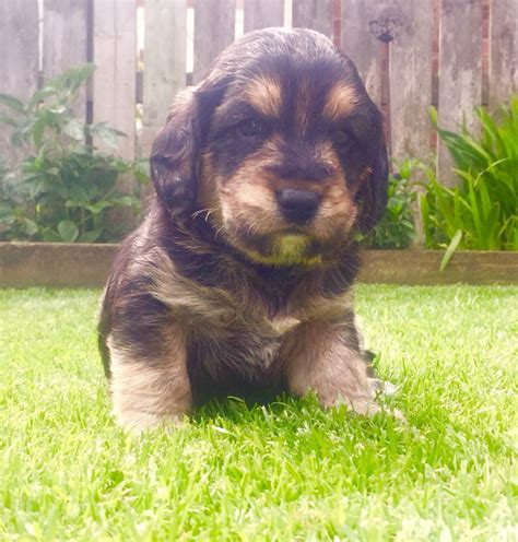 poogle puppies for sale poogle puppies only 1 left beagle x poodle pickering pets4homes