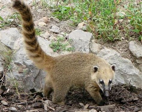 kudamundi animal what are the sizes coati nasua nasua animals a z animals