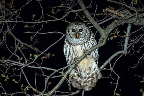 owl tree stephen l tabone nature photography nature