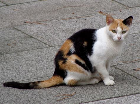 file calico cat in la coruna of spain 01 jpg wikipedia