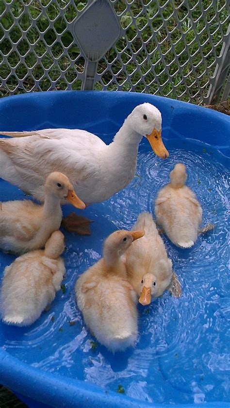 How To Raise Ducks In Your Backyard by 1000 Ideas About Pet Ducks On Duck Coop