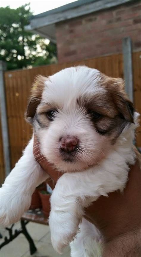 havanese puppies for sale in uk havanese puppies for sale gillingham kent pets4homes