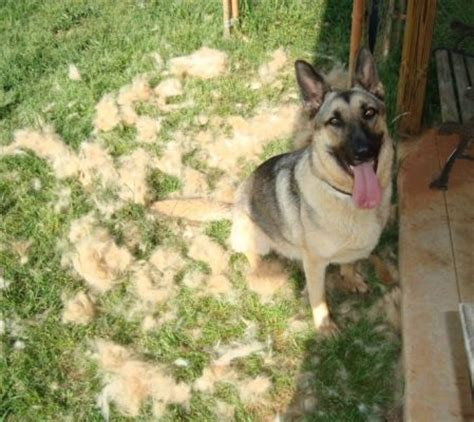 Do German Shepherds Shed by Do German Shepherd S Shed Much Page 5