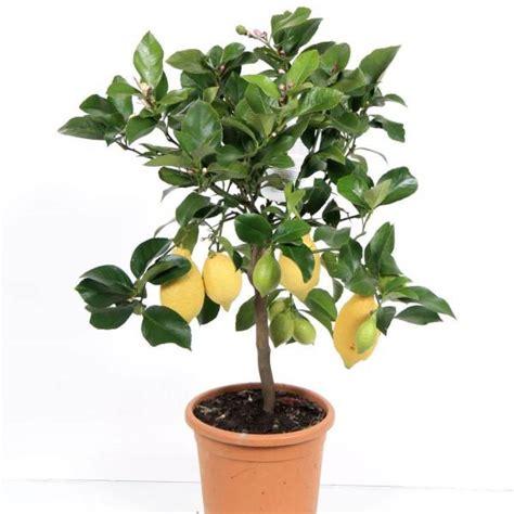 pianta di limoni in vaso limone in vaso masciandaro fiori e piante