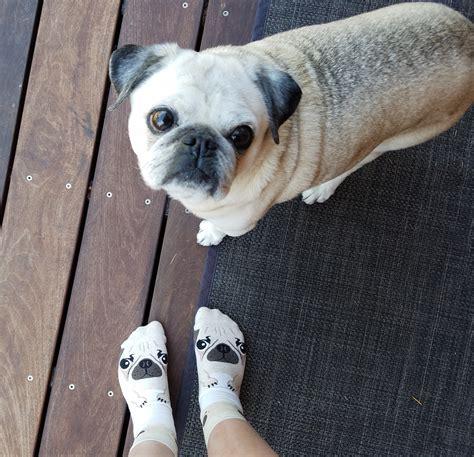 pug pals pug pal socks