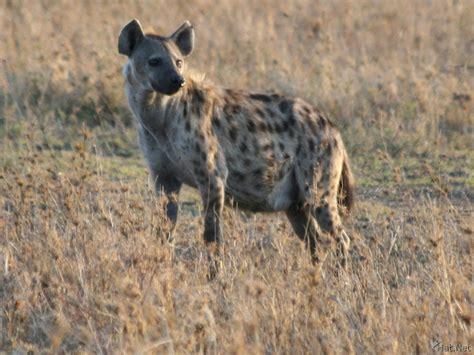 is a hyena a hyena hyenas story of africa