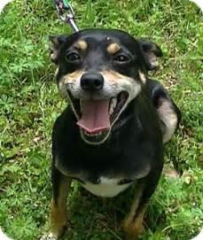 miniature pinscher manchester terrier mix breeds picture