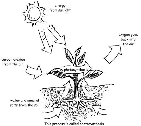 Photosynthesis Coloring Worksheet Coloring Pages Photosynthesis Coloring Pages