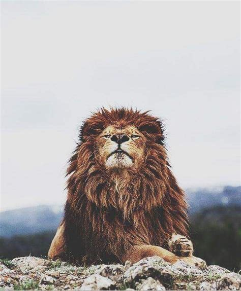 lion wallpaper pinterest best 25 lion wallpaper ideas on pinterest lion