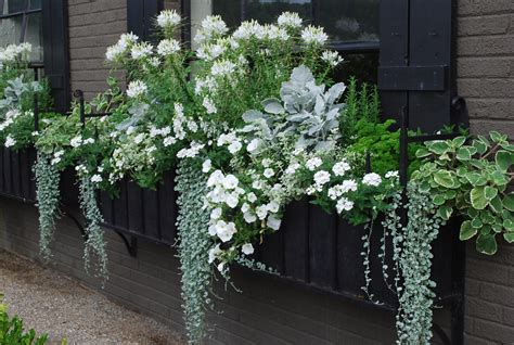 Window Box With White Cleome Floral Pinterest White Flower Gardens