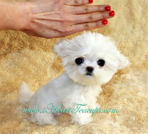micro mini puppies micro teacup maltipoo pocket micro teacup puppy for sale in los angeles a