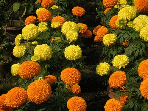 Marigold Flower Garden We Our Bangladesh Marigold Flower Or Gada Genda Ful Is A Common Garden Flower In Bangladesh