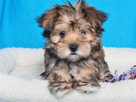 maltese and a yorkie mix maltese yorkie mix adorable animals