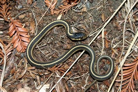 Garden Snake Oregon Field Herp Forum View Topic Exploring The Northern
