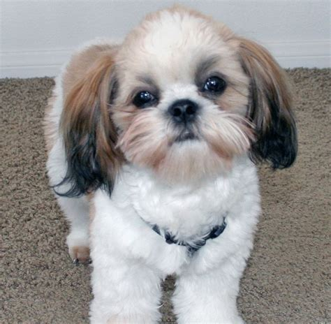 top 10 cutest dogs top 10 cutest small breeds top inspired