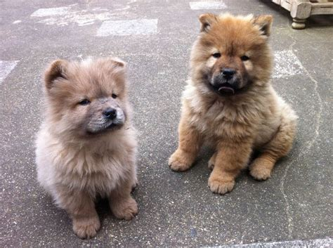 chow chow puppies for sale california 17 best images about dogs on poodles breeds and puppys