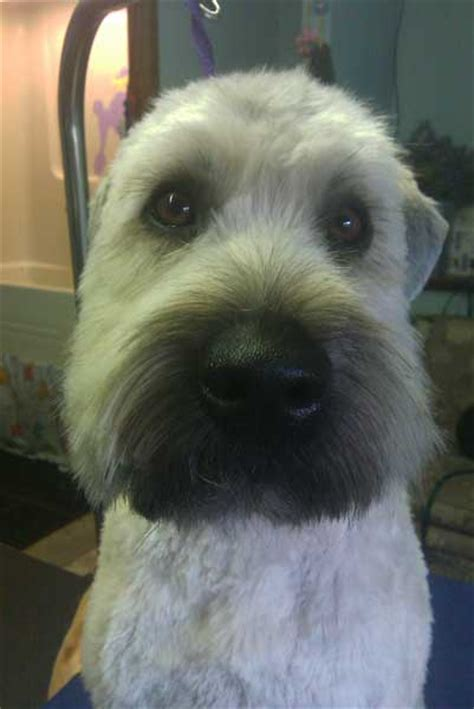 hair styles cuts for wheaten terriers cute photos of happy clients laurels pet grooming dog