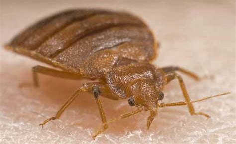 bed bug registry nc bed bug picture gallery bed bug registry database