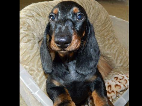 standard dachshund puppies dachshund for sale by kinderteckel smooth standard dachshunds american kennel club
