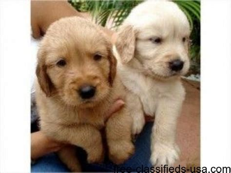 golden retrievers available for adoption awesome golden retriever puppies available for adoption animals grand isle