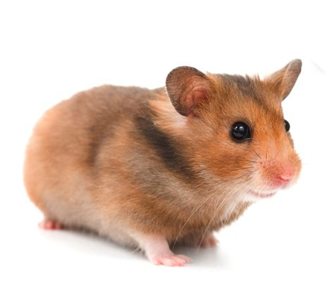 hamster with hamster white background 5 photosfine