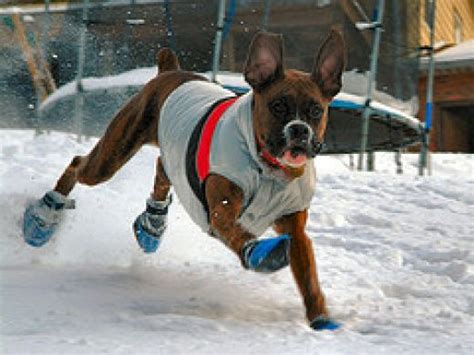 boxer clothes boxer pictures pictures of boxer dogs pictures of snow and okay okay
