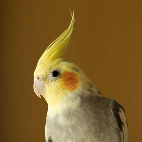 birds forum cockatiel