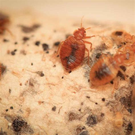 Free Bed Bug Inspection by Schedule Bed Bug Inspection Removal Rock Pest
