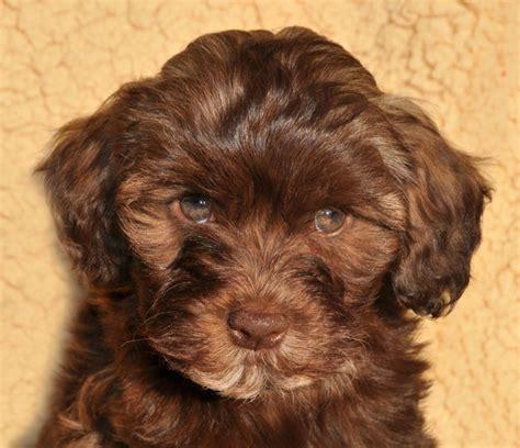 graceful havanese puppies havanese pup puppy welpe welpen litter