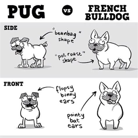 bulldog vs pug pugs vs frenchies infographic dogs dogs and more dogs posts
