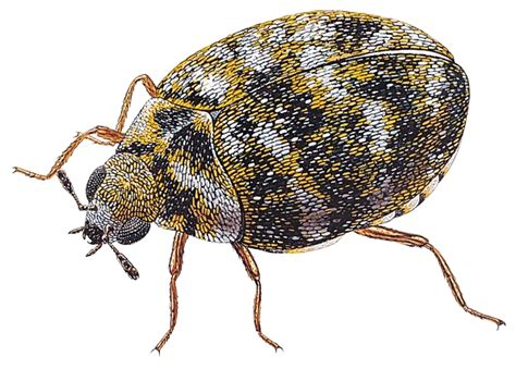 Anderson Upholstery Carpet Beetles Are They The Next Bed Bugs Harpenden